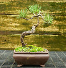 Bonsai Tree Japanese Black Pine JBP 815C