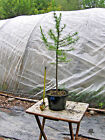 Larch Bonsai 8 Informal Upright Straight Trunk Good Outline Prefinished