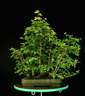 Bonsai Tree Collected Siberian Elm Grove CAEG6 706