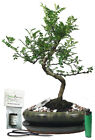 Chinese pepper  zanthoxylm indoor bonsai tree gift set CP24s1G