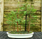 Bonsai Tree Dawn Redwood Grove DRG7 814B