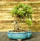 Bonsai Tree Exposed Root Satsuki Azalea Kagetsu Specimen SAKST 915A
