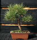 Bonsai Tree Japanese Black Pine JBP 815D