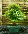 Bonsai Tree Trident Maple Turtleback TMC3G 728C