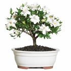 Gardenia Bonsai Tree Medium Outdoor Tropical Live Plant fragrant Great Gift Idea