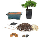Bonsai Tree Starter DIY Kit with 2 Year Old Petite Japanese Juniper Gift Idea