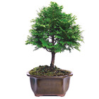 Hinoki Cypress Outdoor Bonsai Tree 3 years old Plant Growing in 8 container
