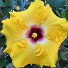10 Rare Yellow Red Hibiscus Seeds Perennial Seed Flower Garden Exotic Hardy