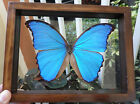 REAL FRAMED BUTTERFLY BLUE PERUVIAN MORPHO DIDIUS MOUNTED DOUBLE GLASS 65X75