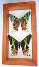 2 REAL MADAGASCAR SUNSET MOTH URANIA RIPHEUS 45X85INCHES DOUBLE GLASS