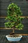Bonsai Tree Hinoki Cypress HC 1105A