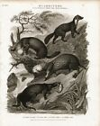 Otter Martin Sable Rare Antique 1820 Steel Engraving Print