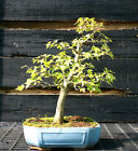 Bonsai Tree Trident Maple TM 728E