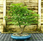 Bonsai Tree Japanese Maple Arakawa Corkbark Specimen JMAST 209A
