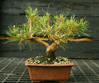 Bonsai Tree Japanese Black Pine JBP 1130D