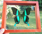 REAL FRAMED BUTTERFLY PAPILIO BLUMEI INDONESIAN SIZE 65X75INCHES GREAT FIN