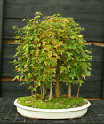 Bonsai Tree Trident Maple Grove 15 Trees TMG15 1103A