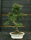 Bonsai Tree Chinese Elm CE 1103B