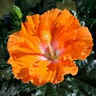 10 Rare Yellow Orange Hibiscus Seeds Perennial Hardy Flower Garden Exotic Seed