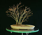 Bonsai Tree Japanese Maple Sharpes Pygmy Grove JMSPG 1208
