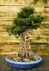Bonsai Tree Exposed Root Satsuki Azalea Hakuho SAHST 915B