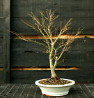 Bonsai Tree Japanese Maple Sharpes Pygmy Specimen JMSPST 1215
