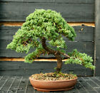 Bonsai Tree Pro Nana Green Mound GMJ 1215E
