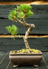 Bonsai Tree Japanese Black Pine JBP 1215A