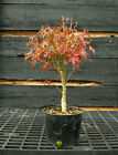 Pre Bonsai Tree Japanese Maple Sharpes Pygmy JMSP1G 1105B