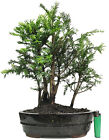 Yew taxus buccata outdoor bonsai tree 5 tree group forest