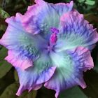 10 Rare Blue Pink Purple Hibiscus Seeds Perennial Hardy Flower Garden Exotic