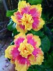 10 Double Pink Yellow Hibiscus Seeds Hardy Flower Garden Exotic Perennial Seed
