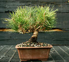 Bonsai Tree Japanese Black Pine JBP 1215J
