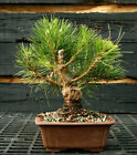 Bonsai Tree Japanese Black Pine JBP 1215C