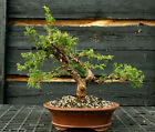 Bonsai Tree Shimpaku Juniper Itoigawa SJI 1215E
