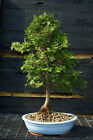 Bonsai Tree Hinoki Cypress HC 123C