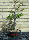 Trident Maple Bonsai T 002 Medium