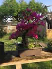 Bougainvillea Bonsai specimen