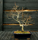 Bonsai Tree Korean Hornbeam KB 1215B