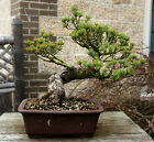 Bonsai Tree Specimen Five Needle Japanese White Pine FNPST 110C