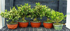 Harlandi Boxwood Pre Bonsai 5 Tree Group HB1GG5 220B