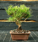 Bonsai Tree Japanese Black Pine JBP 1215F