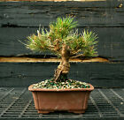Bonsai Tree Japanese Black Pine JBP 1215H