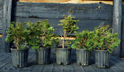 Pre Bonsai 5 Tree Group Hinoki Cypress HC6G5 220A