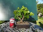 Specimen Trident Maple Bonsai  Turtle Back very small size