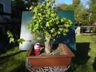 Trident Maple  Bonsai  Large Trunk