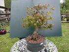 Trident maple bonsai Nice movementtaperbranchingflare