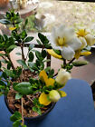 Gardenia Pre Bonsai Tree 16 in 6 Pot Tropical Live Plant SCENT AMAZING 10 OFF