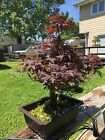 Japanese Maple Bonsai Blood Good 18 yrs old