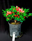 Satsuki Azalea hybrid Mrs J Ward 6 flowering Bonsai tree salmon orange red